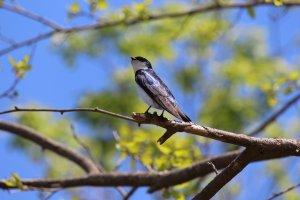 21May2018_A_Tree Swallow
