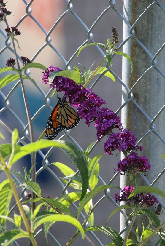 Monarch photo by Michelle Sharp