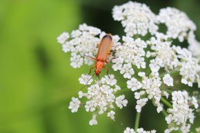 Soldier Beetle photo by Michelle Sharp