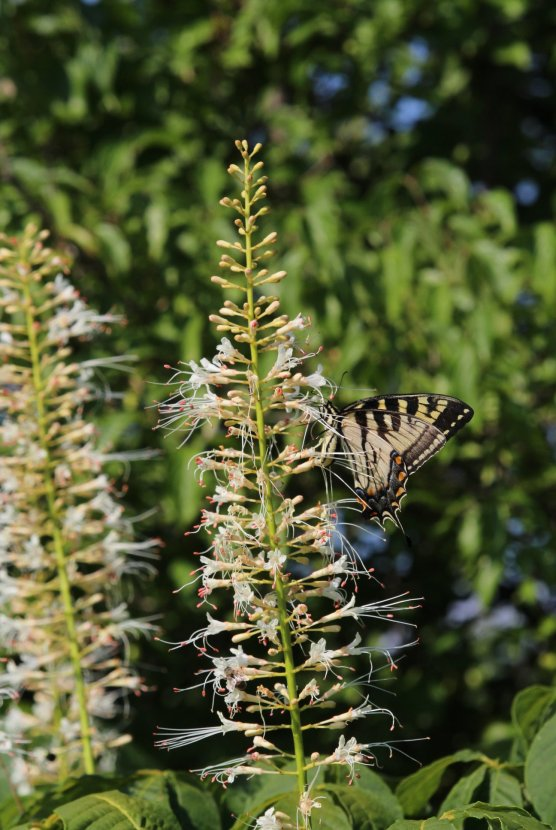 Tiger Swallowtail photo by Michelle Sharp