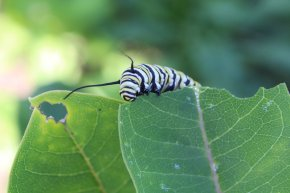 Monarch Caterpillar photo by Michelle Sharp