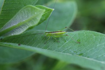 Meadow Katydid photo by Michelle Sharp