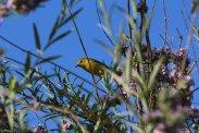 Warbler Photo by Michelle Sharp