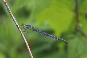 Female Eastern Forktail Photo by Michelle Sharp