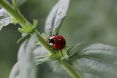 Ladybug photo by Michelle Sharp