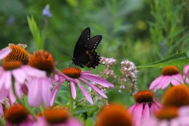 Spicebush Swallowtail photo by Michelle Sharp