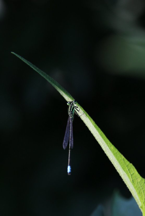 Eastern Forktail male photo by Michelle Sharp