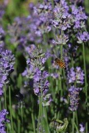 Honey Bee photo by Michelle Sharp