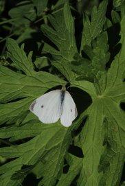 Cabbage White photo by Michelle Sharp