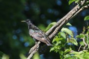 Common Starling photo by Michelle Sharp