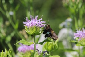 Silver Spotted Skipper photo by Michelle Sharp