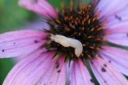 Slug on Purple Cone Flower photo by Michelle Sharp