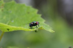 Common Green Bottle fly photo by Michelle Sharp