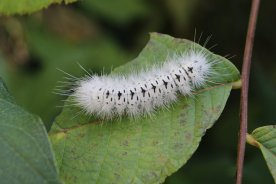 Hickory Tussock Moth photo by Michelle Sharp