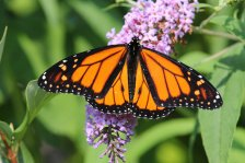 Monarch on Buddleja photo by Michelle Sharp