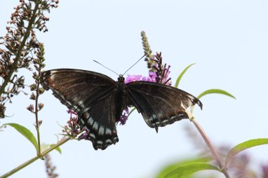 Red Spotted Purple on Buddleja