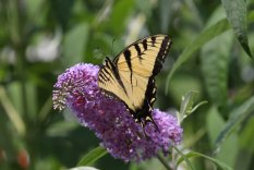 Tiger Swallowtail on Buddleja photo by Michelle Sharp