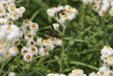 Paper Wasp on Pearly Everlasting