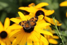 Pearl Crescent on Blackeyed Susan photo by Michelle Sharp