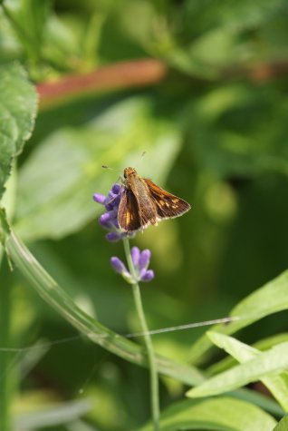 Peck's Skipper on Lavender photo by Michelle Sharp