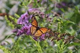 Viceroy on Buddleja photo by Michelle Sharp