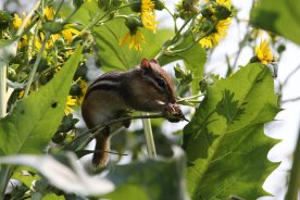 Chipmunk on Cup plant photo by Michelle Sharp