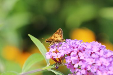 Pecks Skipper on Buddleia photo by Michelle Sharp