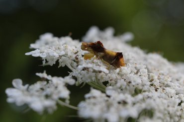 Jagged Ambush Bug on Queen Anne's Lace