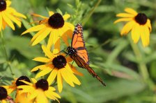 Monarch on Blackeyed Susan photo by Michelle Sharp