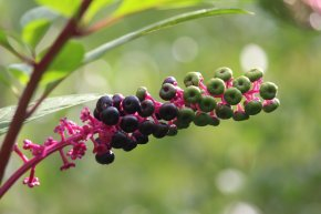 Giant Pokeweed photo by Michelle Sharp