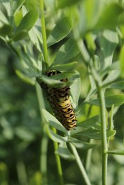 Black Swallowtail Caterpillar on Rue photo by Michelle Sharp