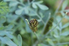 Black Swallowtail Caterpillar photo by Michelle Sharp