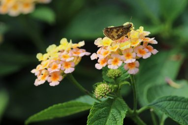 Peck's Skipper on Lantana photo by Michelle Sharp