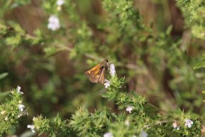 Tawny Edged Skipper on Thyme photo by Michelle Sharp