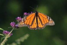 Monarch on Buddleja photo by Michelle Sharp