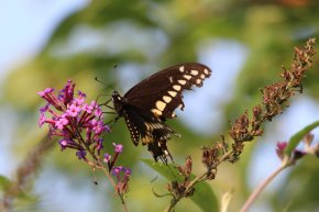 Giant Swallowtail on Buddleja photo by Michelle Sharp