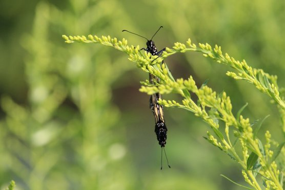Mating Monachs on Goldenrod photo by Michelle Sharp