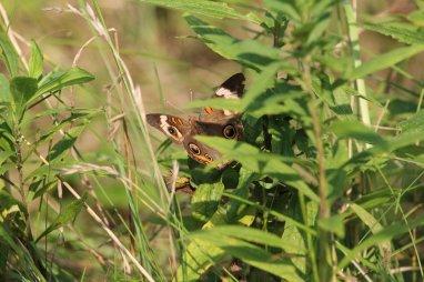 Common Buckeye photo by Michelle Sharp