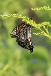 Mating Monarchs on Goldenrod photo by Michelle Sharp