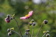 Japanese Anemone photo by Michelle Sharp