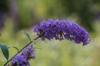 Buddleja photo by Michelle Sharp