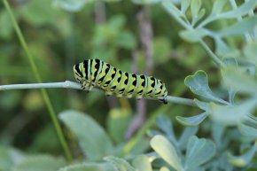 Black Swallowtail Caterpillar on Rue photo by Michelle Sharp