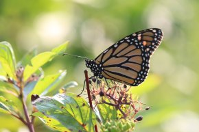 Monarch on Red Osier Dogwood photo by Michelle Sharp