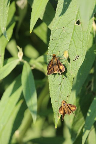 Pecks' Skipper on Joe Pie Weed photo by Michelle Sharp