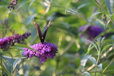 Red spotted Purple on Buddleja photo by Michelle Sharp