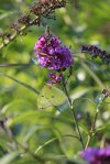 Sulphur on Buddleja photo by Michelle Sharp