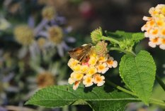 Tawnyedged Skipper on Lantana photo by Michelle Sharp