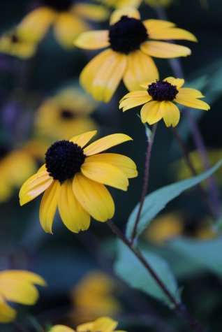 Rudbeckia Triloba photo by Michelle Sharp