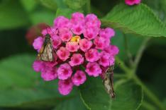 Pecks' Skipper on Lantana photo by Michelle Sharp