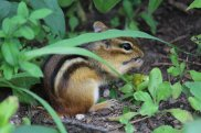 Eastern Chipmunk photo by Michelle Sharp
